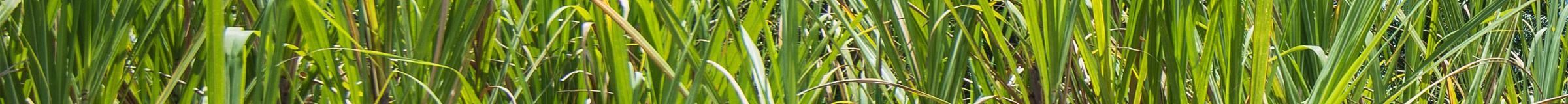 havana-sugarcane